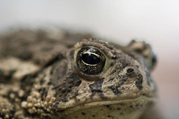 Dunbar Wall Art - Photograph - A Close-up Of A Toad Found In Dunbar by Joel Sartore