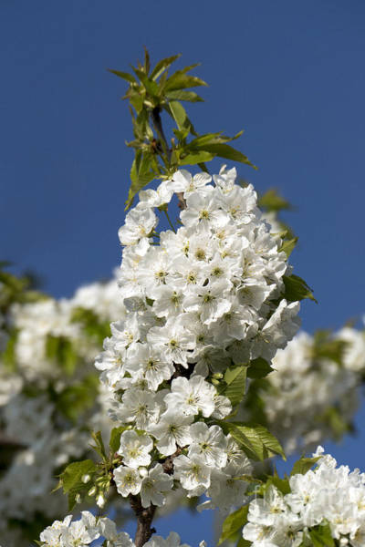 Photograph - A Cluster Of Cherry Flowers Blossoming In The Springtime by Odon Czintos
