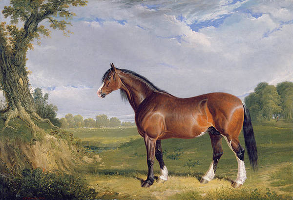 Horse Farm Photograph - A Clydesdale Stallion by John Frederick Herring Snr