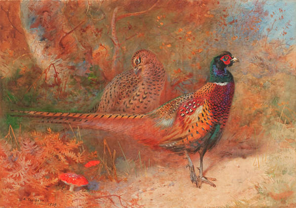 Wall Art - Painting - A Cock And Hen Pheasant Unframed by Archibald Thorburn