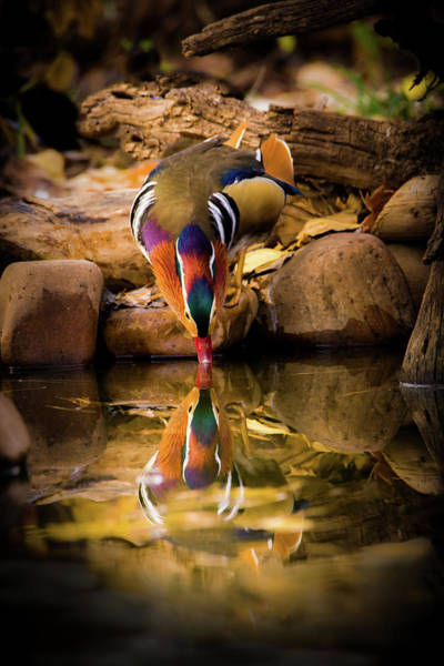 Photograph - A Cold Drink - Mandarin Drake by TL Mair