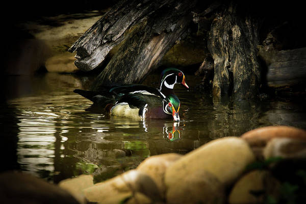 Photograph - A Cold Drink - Wood Ducks by TL Mair