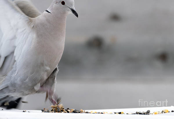 Photograph - A Collared Dove Stretopelia Decaocto by Odon Czintos