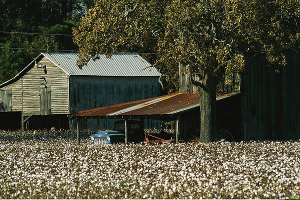 Cotton Photograph - A Cotton Field Surrounds A Small Farm by Medford Taylor