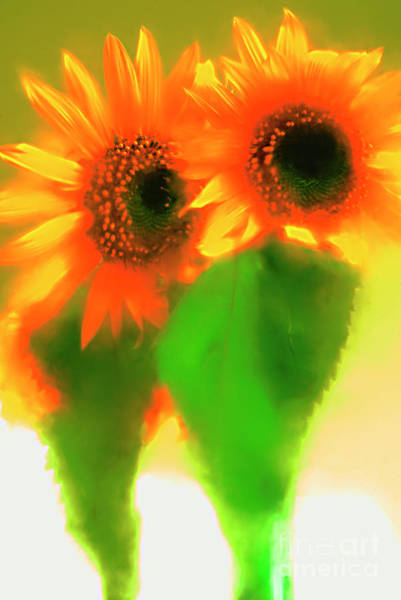 Alexander Vinogradov Photograph - A Couple Of Sunflowers. by Alexander Vinogradov