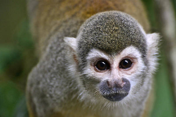 Photograph - A Curious Monkey by Don Mercer