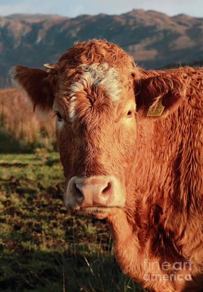 A Curious Red Cow Art Print