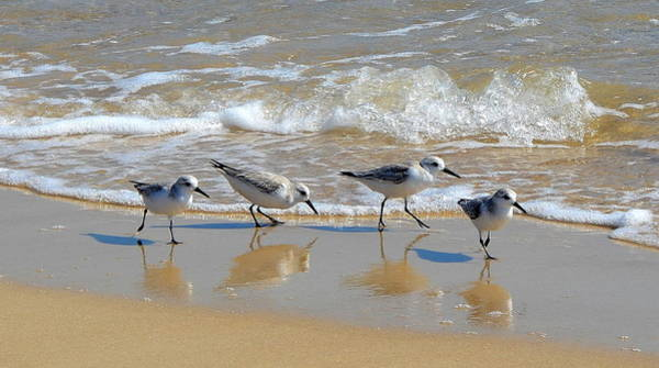 Wall Art - Photograph - A Cute Quartet Of Sandpipers by Carla Parris