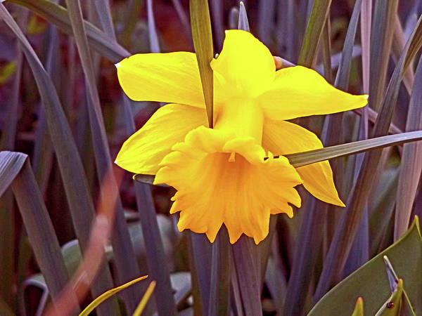 Digital Art - A Daffodil Resting by Joseph Coulombe