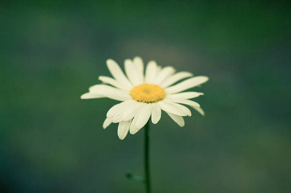 Wall Art - Photograph - A Daisy Day by Melissa  Riggs