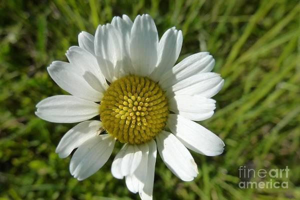 Photograph - A Daisy by Jean Bernard Roussilhe