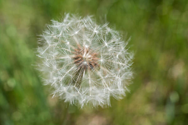 Photograph - A Dandelion by Terry DeLuco