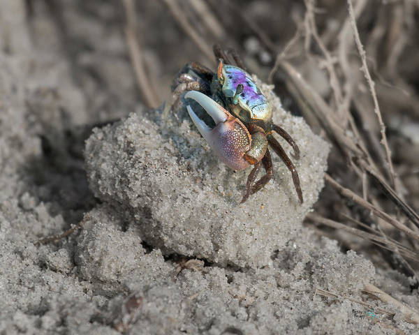 Crab Photograph - A Delicate Balance by Betsy Knapp
