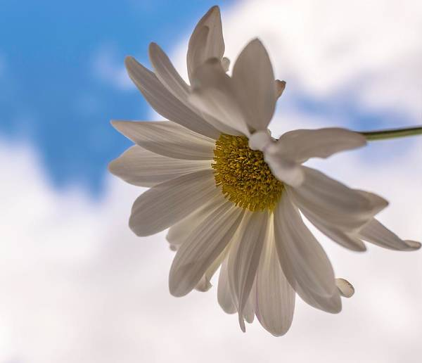 Photograph - A Different Daisy by Keith Smith