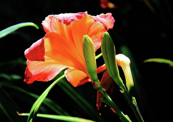 Photograph - A Different View Lily by Allen Nice-Webb