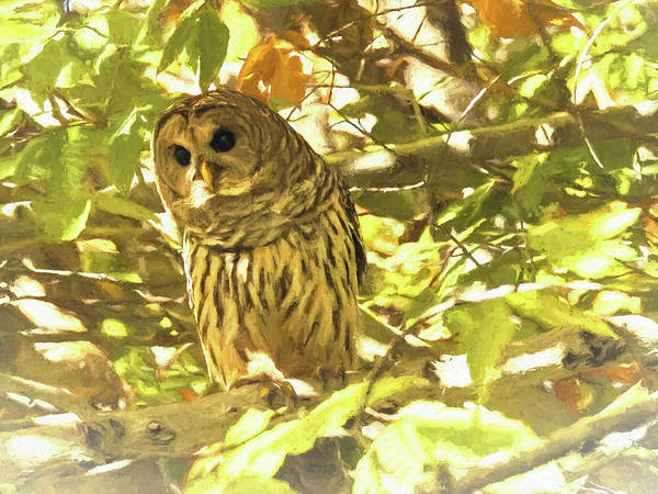 Photograph -   Barred Owl  Perched  by Rusty R Smith