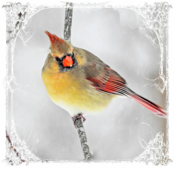 Photograph -   Female Cardinal In A Snow Storm.. by Rusty R Smith