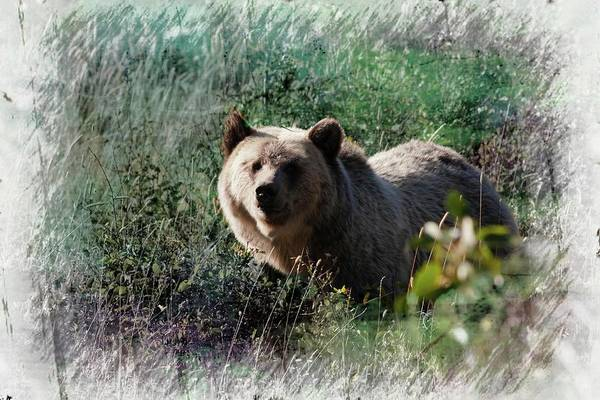 Photograph -  Grizzly Bear.  by Rusty R Smith