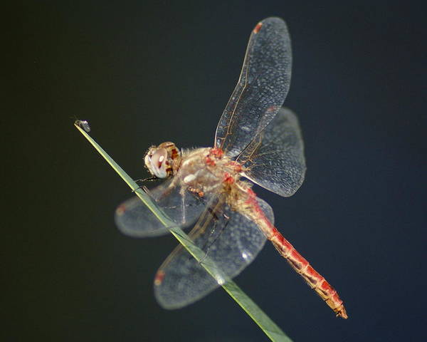 Photograph - A Dragonfly Prepares For Lunch by Ben Upham III