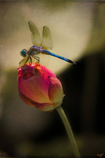 Photograph - A Dragonfly Rests Momentarily On A Lotus Bud by Chris Lord
