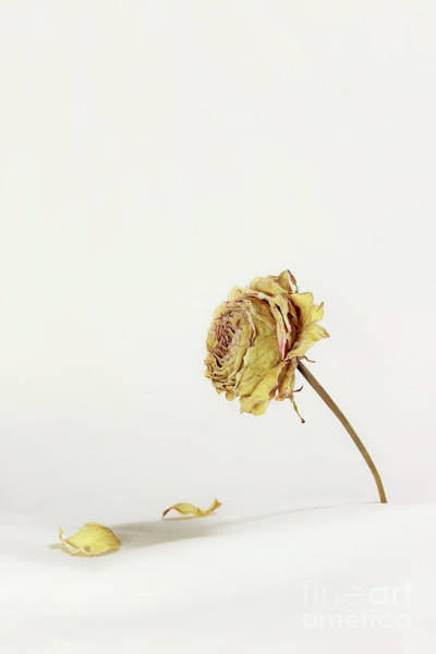 Wall Art - Photograph - A Dried Rose by Masako Metz