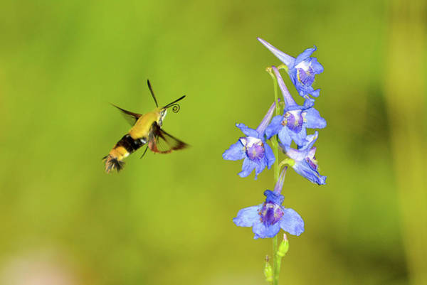 Hemaris Photograph - A Drink Of Blue Juice by Royal Tyler