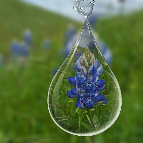 Texas Bluebonnet Digital Art - A Drop Of Texas Blue by Pamela Smale Williams