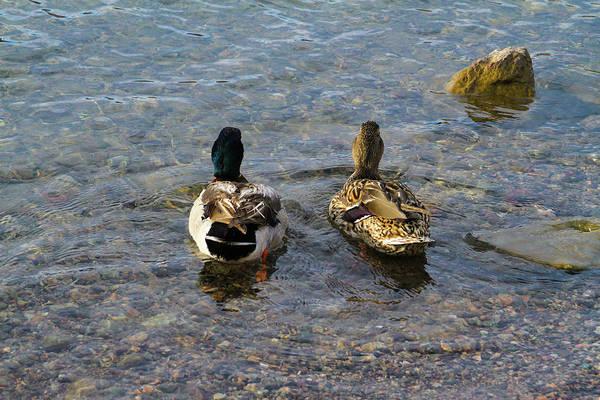 Photograph - A Ducky Date by Bonnie Follett