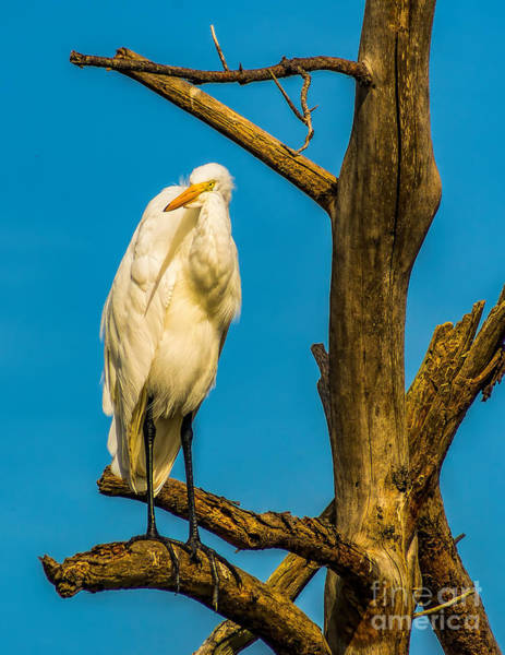 Photograph - An Egret In A Tree by Nick Zelinsky
