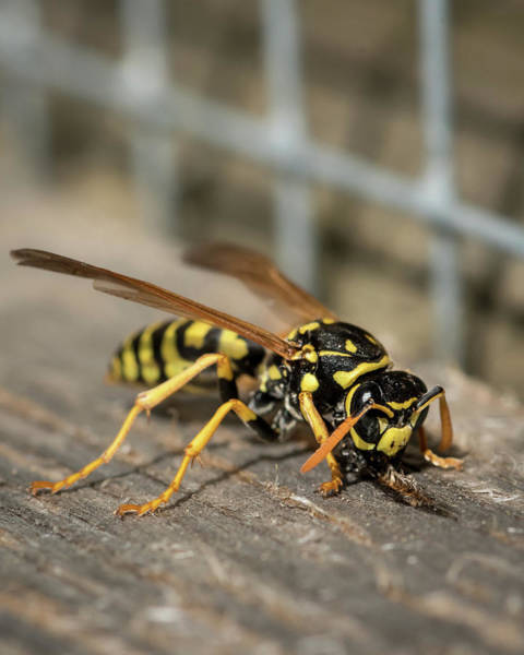 European Hornet Photograph - A European Paper Wasp Collecting Wood For Nest by Stefan Rotter