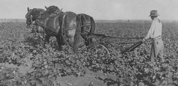 Toil Photograph - A Farmer Using A Cultivator  by American School