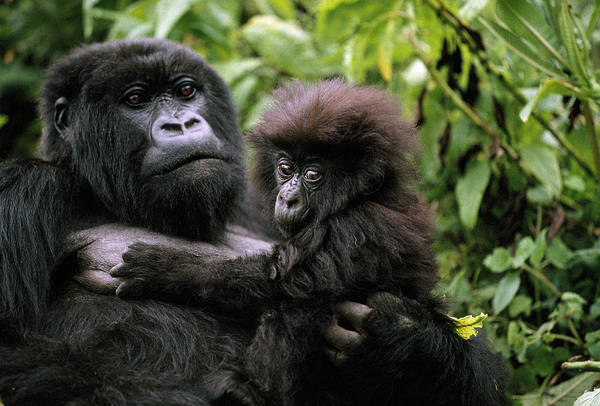 Rwanda Photograph - A Female Mountain Gorilla And Her Child by Michael Nichols
