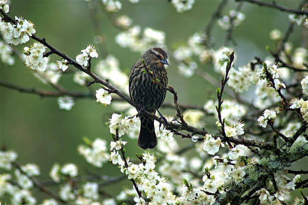 Photograph - A Female Red-winged Blackbird In Dragonfly Forest by Ben Upham III
