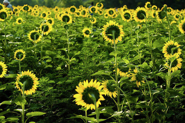 Photograph - A Flock Of Blooming Sunflowers by Dennis Dame