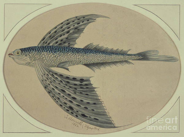 Flying Drawing - A Flying Fish by Thomas Bewick