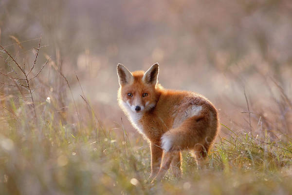 Cute Overload Photograph - A Fox Called Pinoccio by Roeselien Raimond