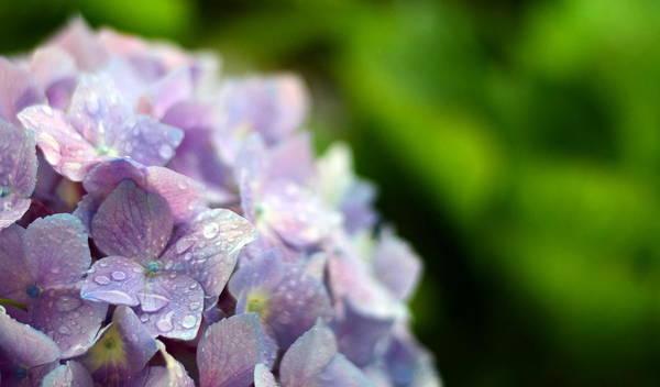 Brillante Photograph - a Fresh Purple hydrangea by HQ Photo