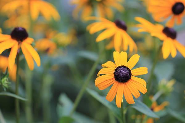 Photograph - A Garden Of Black Eyed Susans by Angela Murdock