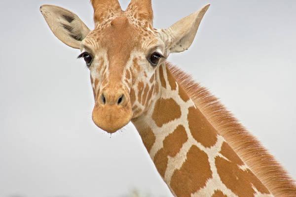 Nature Wall Art - Photograph - A Giraffe Neck And Head by Iordanis Pallikaras