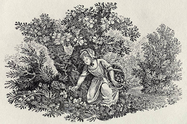 Woodland Drawing - A Girl Gathering Flowers by Thomas Bewick