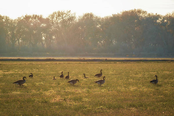 Photograph - A Golden Dream Of Geese by Mary Lee Dereske