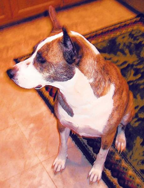 Wall Art - Photograph - A Good Pit Bull by Eve Paludan