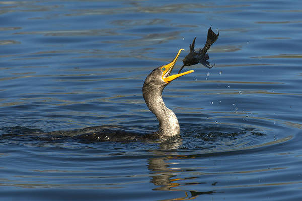 Double Crested Cormorant Photograph - A Good Toss by Fraida Gutovich