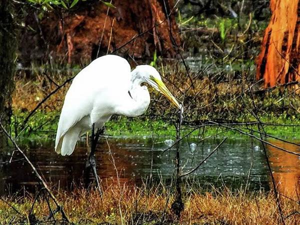 Egret Photograph - A Gorgeous Great Egert In Sam Houston by Cheray Dillon