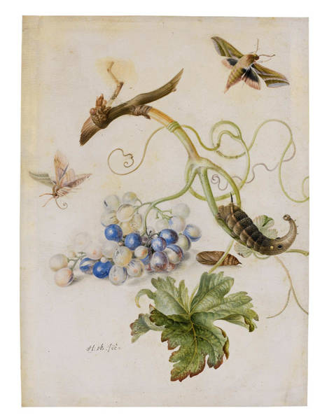 Grape Drawing - A Grape Vine With Moths And Larvae by Anton Henstenburgh