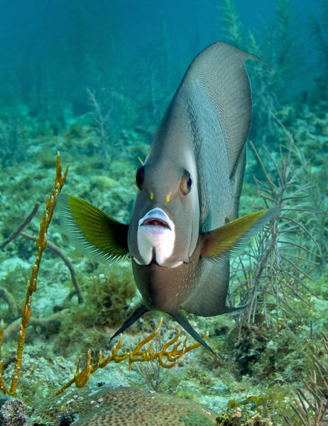Wildlife Sanctuary Photograph - A Gray Angelfish In The Shallow Waters by Michael Wood