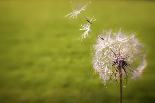 Dandelion Puff Photograph - A Great Big Wish by Marnie Patchett