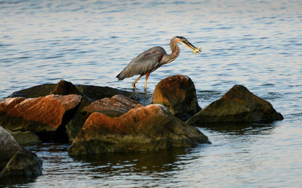 Photograph -  A Great Blue Heron Day by Patrick Wolf