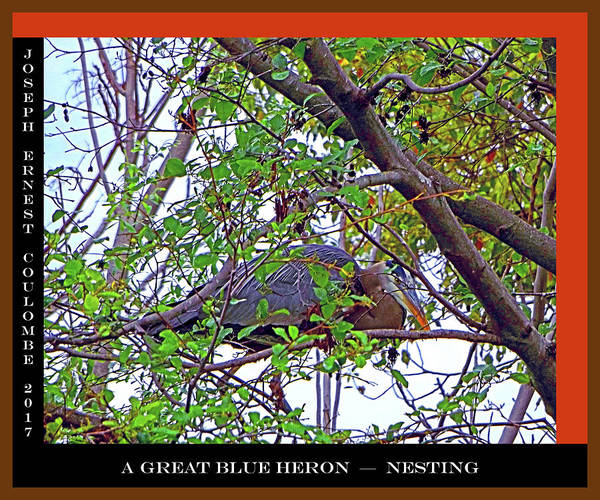 Digital Art - A Great Blue Heron - Nesting by Joseph Coulombe