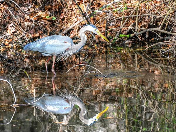 Photograph - A Great Blue In The Mirror by Don Mercer
